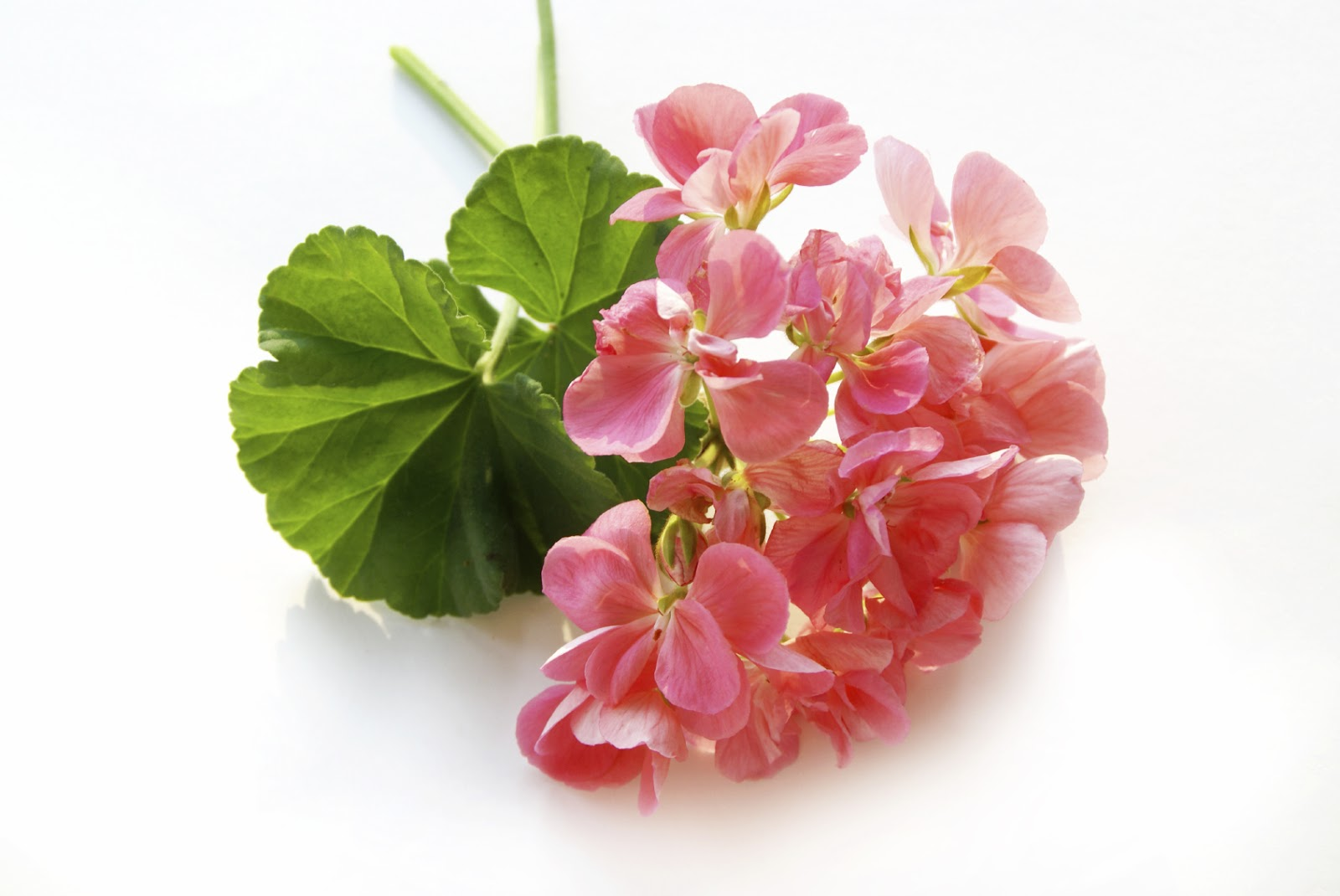 You will learn to immediately recognize the distinctive, one-of-a-kind aroma of Organic Rose Geranium Essential Oil.