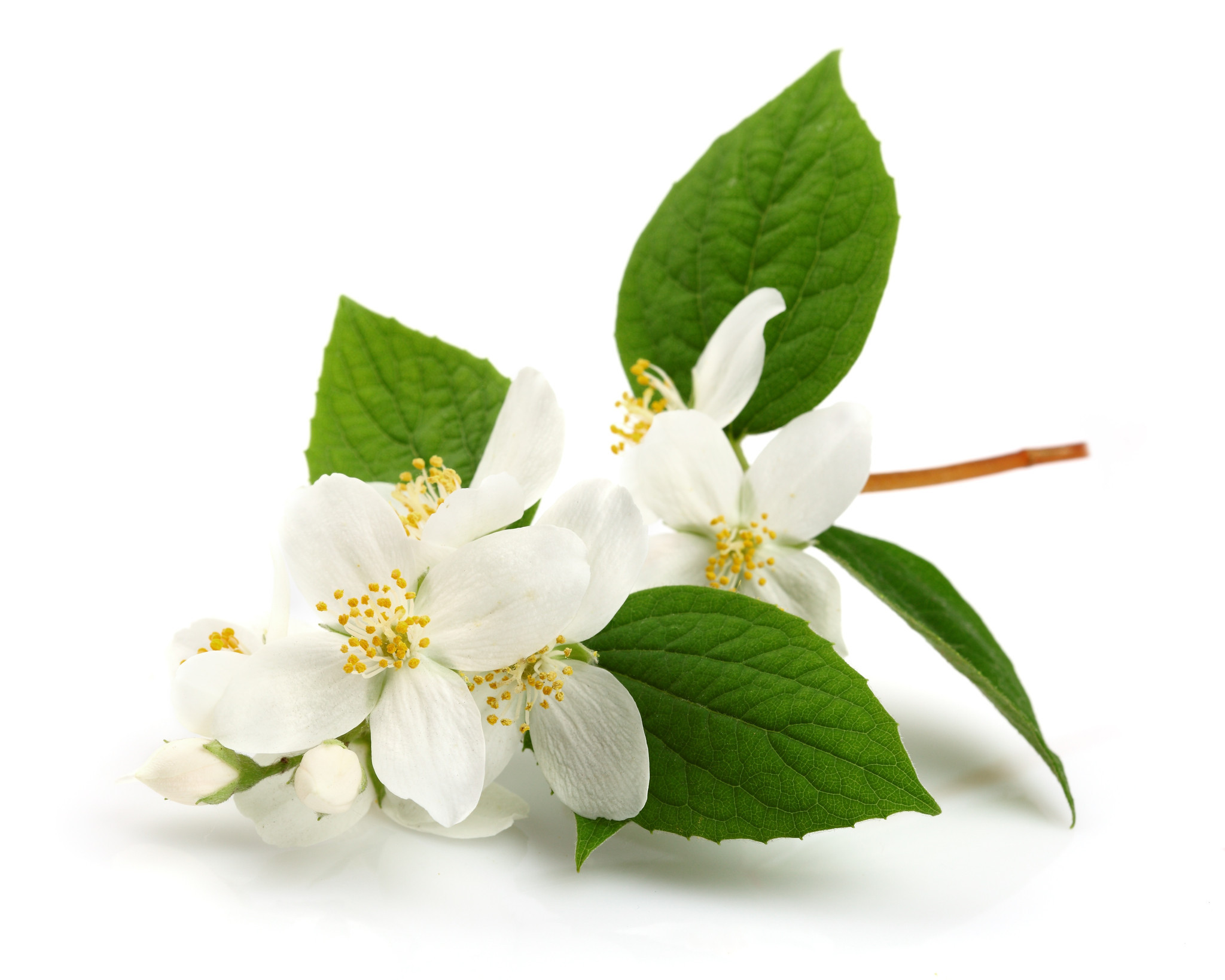 There Scientific Studies to Support the Health Benefits of Jasmine Absolute
