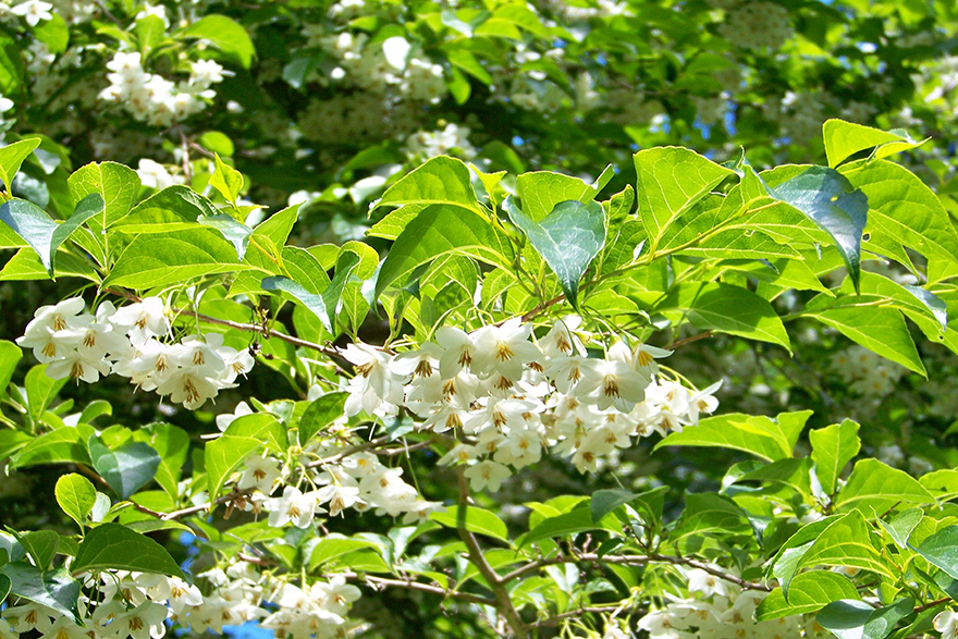 Image of a styrax benzoin tree with blosoms