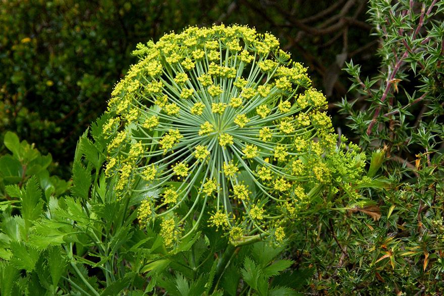 Image of Galbanum flower