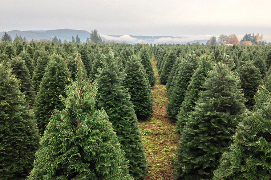 Image of a forest of Grand Firs