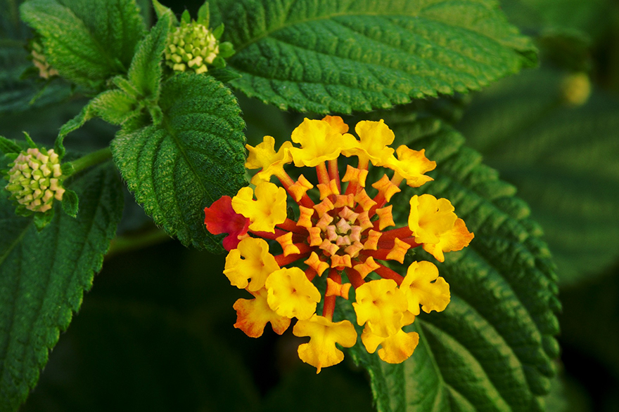 Lantana Essential Oil
