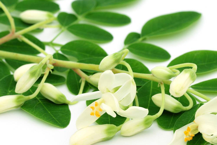 Known for its oxidative stability, moringa oil has a shelf life of up to five years. The phytonutrients in the oil help keep skin and hair healthy.