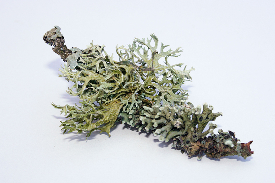 Image of Oakmoss on white background