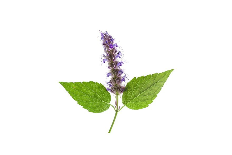 Image of Patchouli flower on white background